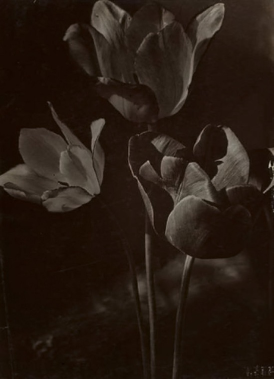 Máté Olga Tulipánok 1920