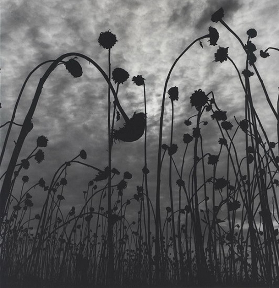 Olive Cotton - Dead Sunflowers, 1984-1991 ( From Olive Cotton Photographer, National Library of Australia, 1995, p53)
