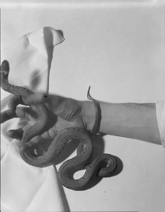 Roger Parry-Un serpent s'enroule autour des doigts et du poignet d'un homme 1933