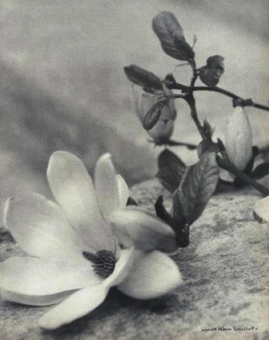 Laure Albin-Guillot-Etude de fleurs .photogravure, vers 1935