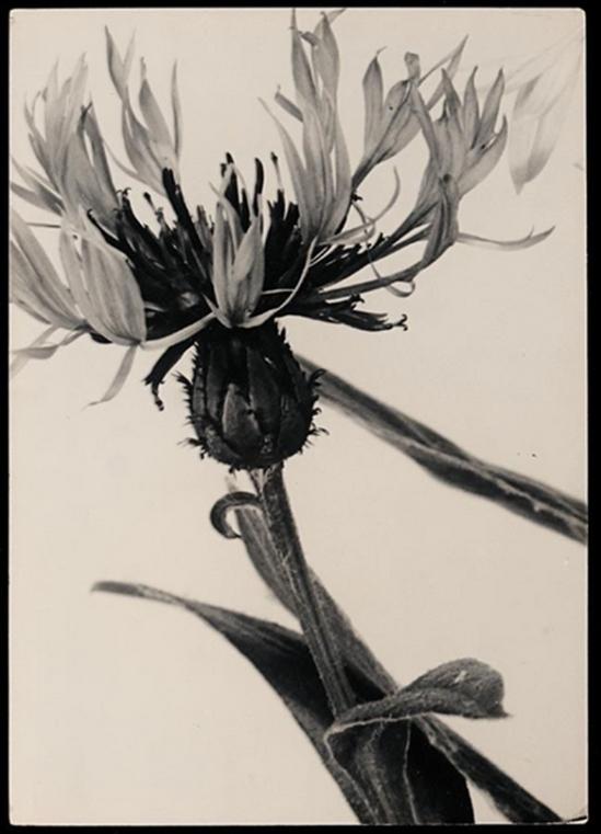 Aenne Biermann - Acentauria Mochata 1931