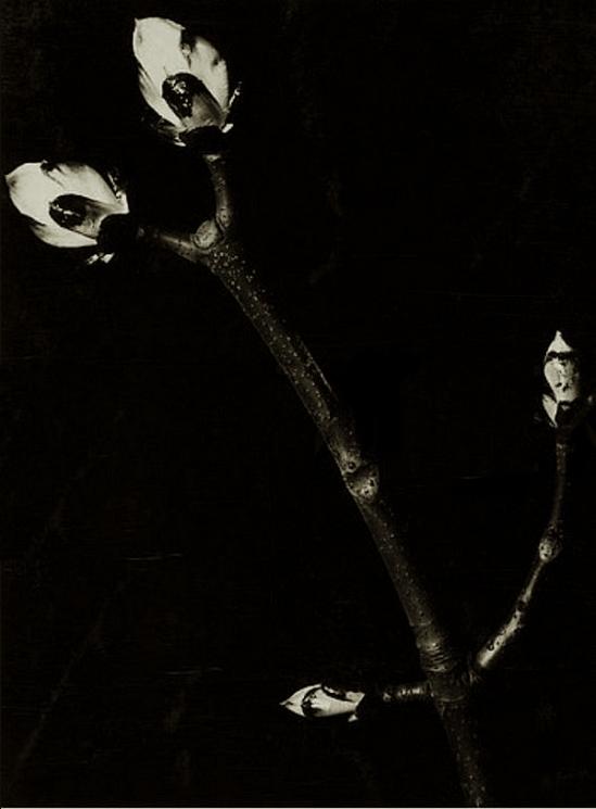 Aenne Biermann - Kastanienknospen. 1929