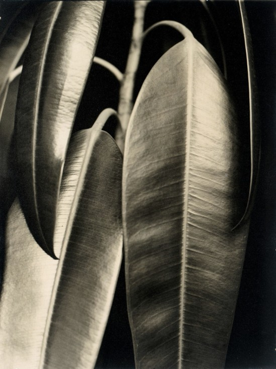 Aenne Biermann-Rubber Tree , 1927
